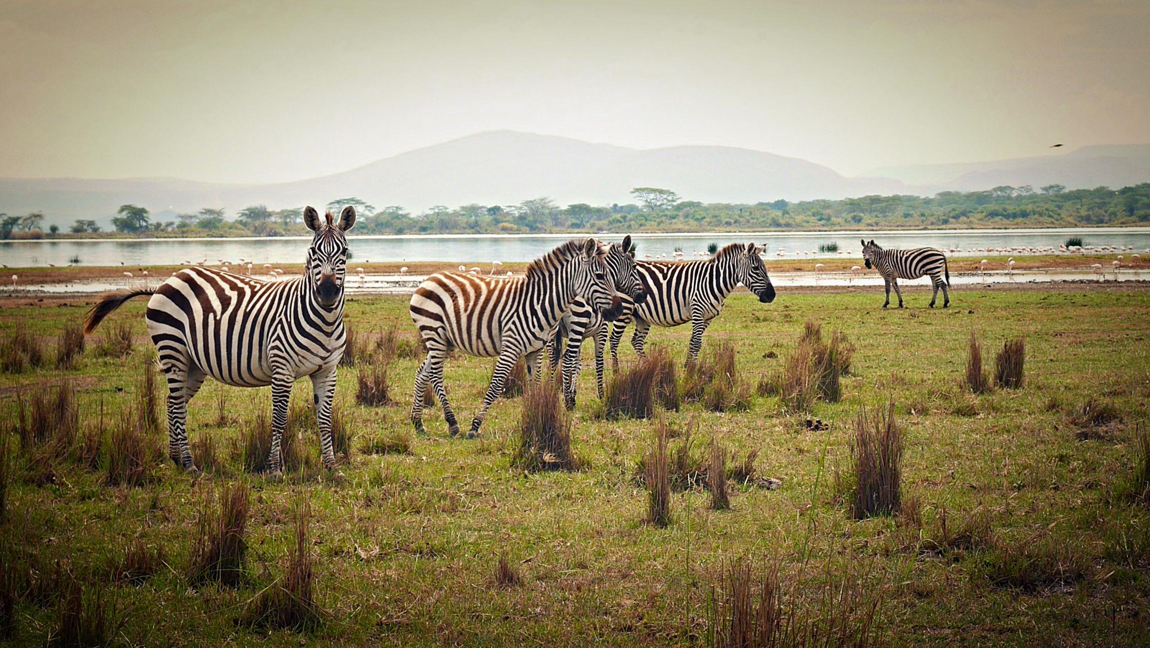 Zebras at Lake Elmenteita