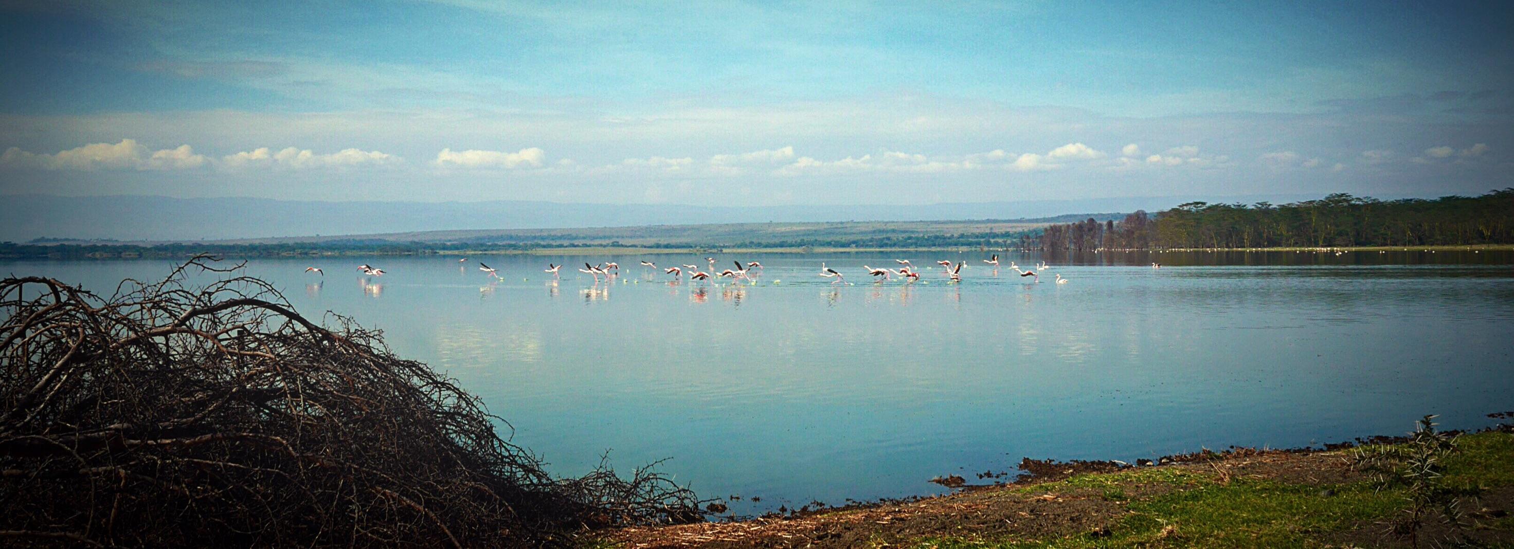 Flamingos in Flight at Lake Elmenteita Serena Lodge
