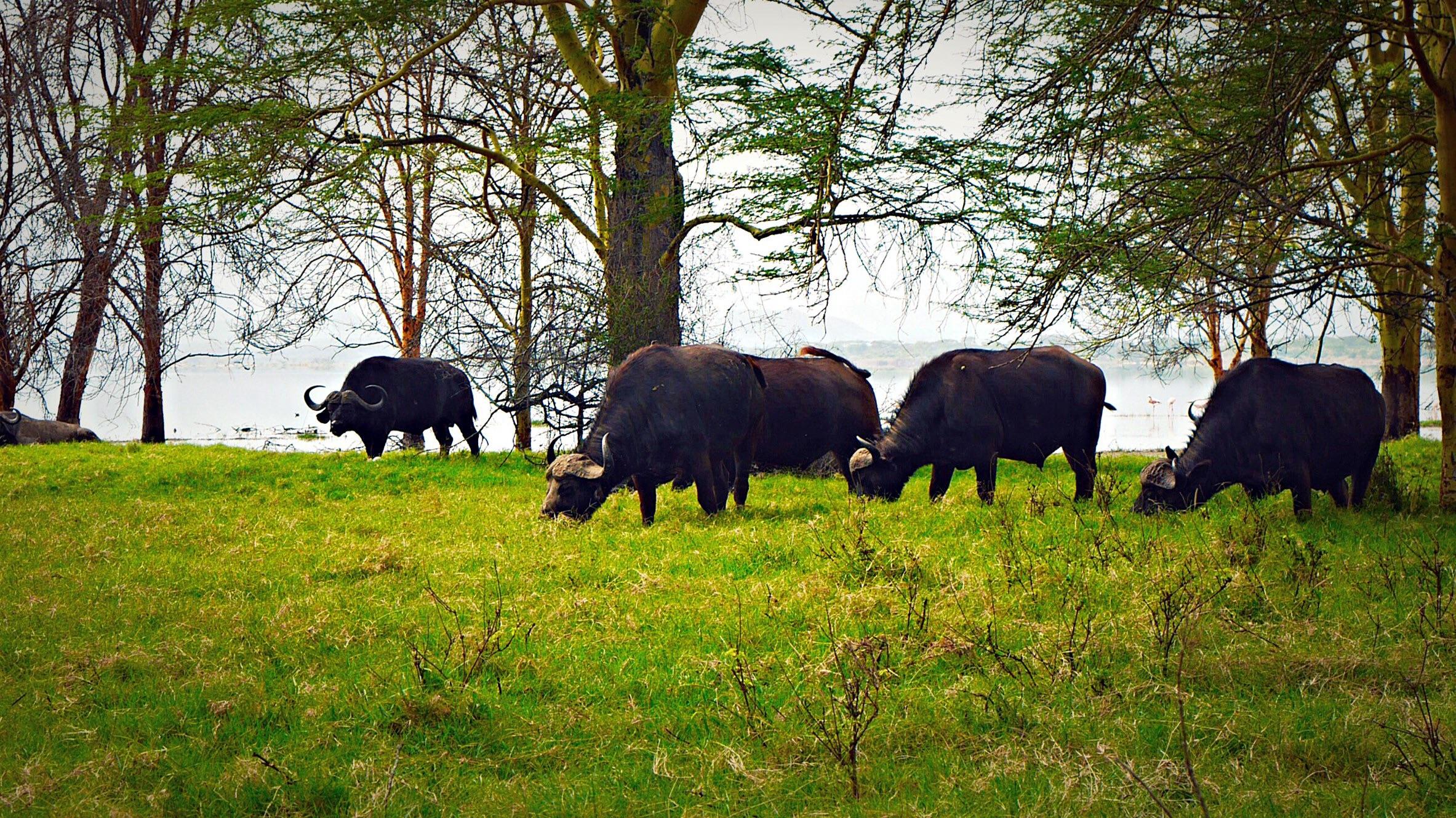 Water buffalos at Lake Elmenteita