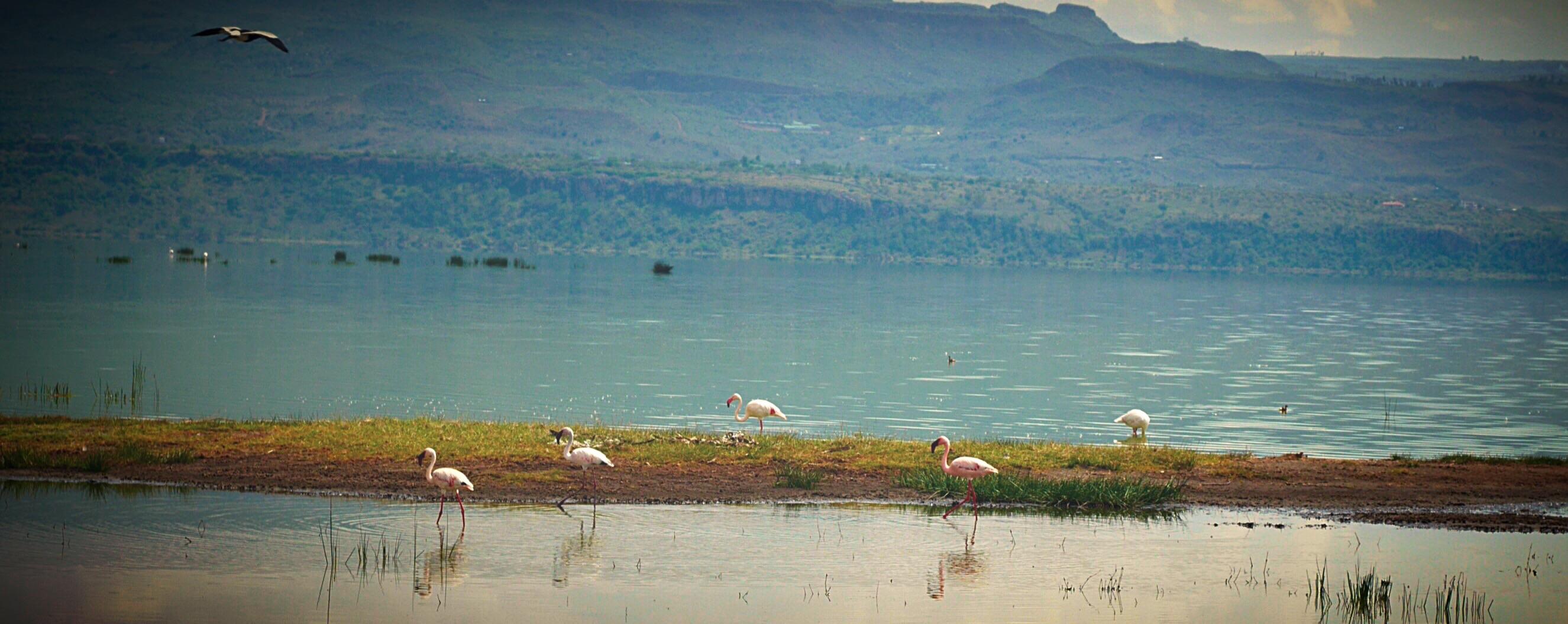 Two types of flamingos at Lake Elmenteita