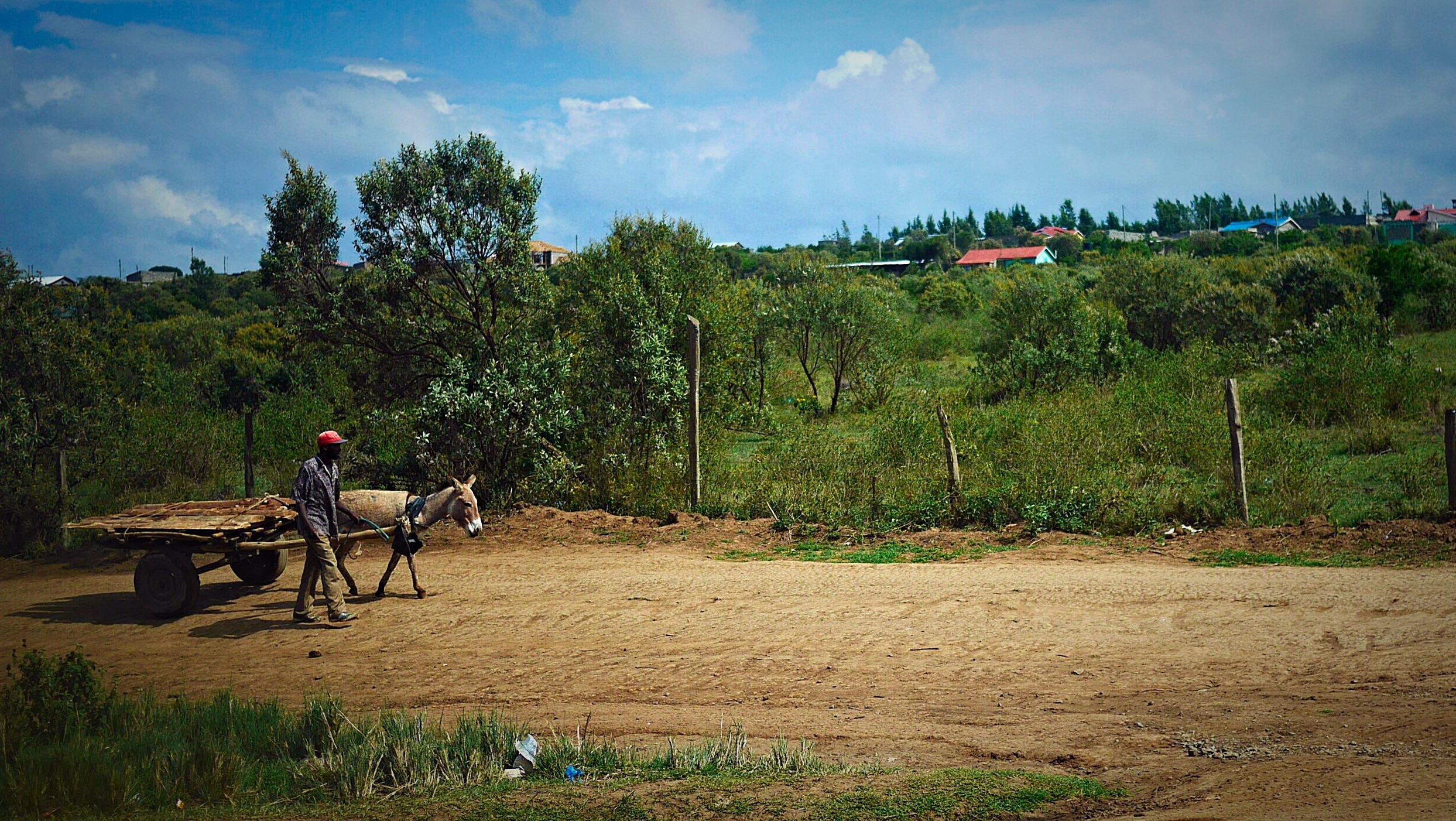 Local Kenyan pulling donkey