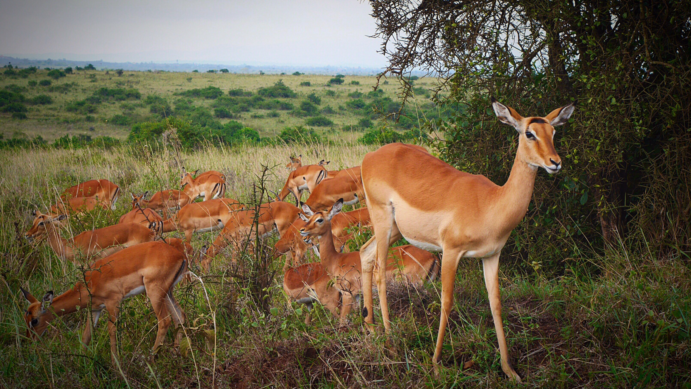 Antelopes at Nairobi National Park