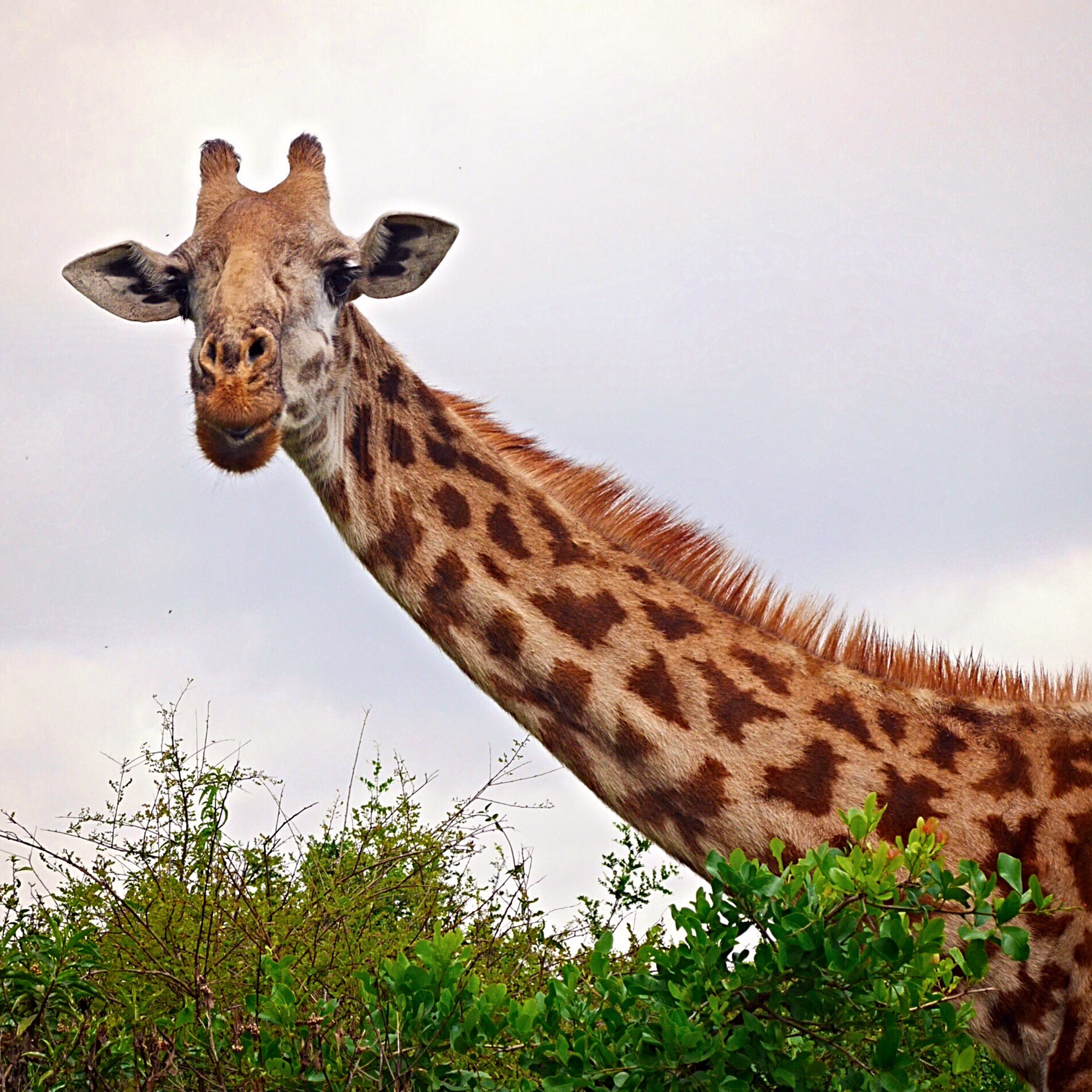 Giraffes at Nairobi National Park