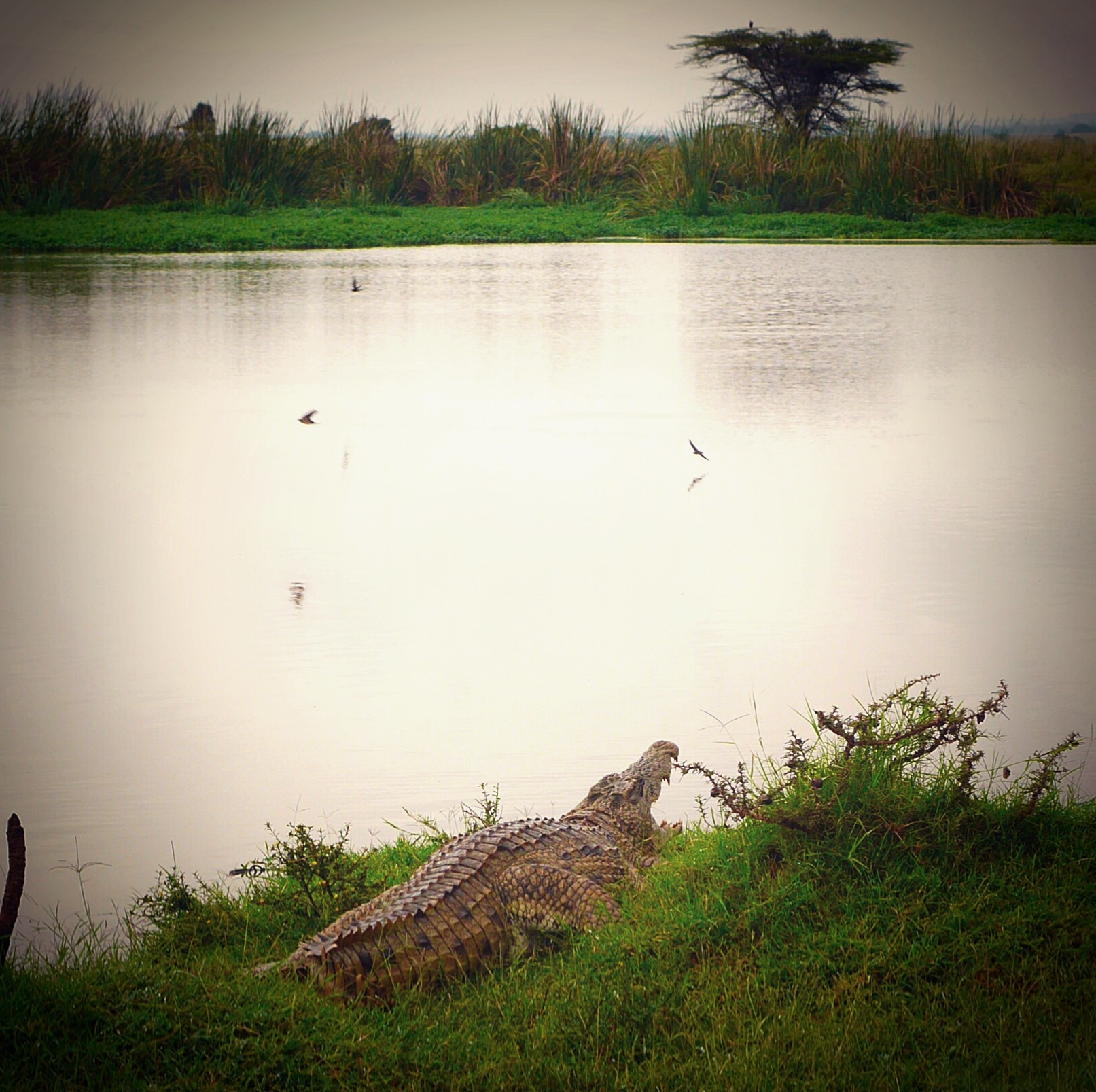 Crocodiles at Nairobi National Park